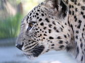 Portrait of a leopard — Stock Photo