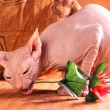 Sphynx kitten — Stock Photo #10209238