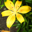 Yellow lily — Stock Photo #10209688