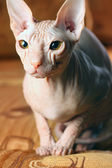 Sphynx kitten — Stock Photo