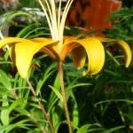 Opened yellow lily — Stock Photo