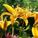 Opened yellow lilys — Stock Photo