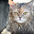 Drenched cat - Stock Photo
