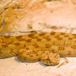 Horned viper - Stock Photo