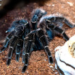 Tarantula — Stock Photo