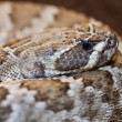 Crotalus linnaeus, — Stock Photo