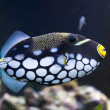 Clown triggerfish — Stock Photo