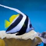 Longfin pennantfish — Stock Photo