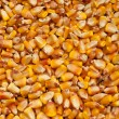 Stock Photo: Maize kernels
