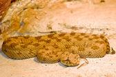 Horned viper — Stock Photo