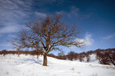 Oak tree on winter peissage — Stock Photo
