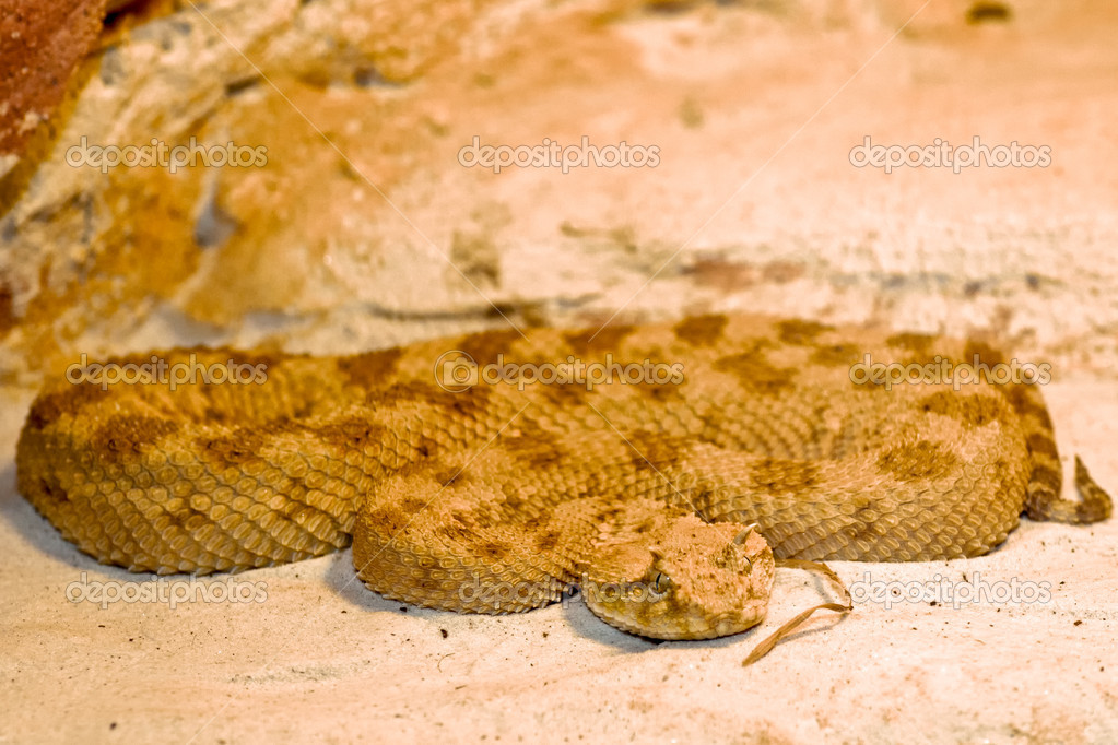 Horned Viper Drawing Horned Viper Cerastes Vipers