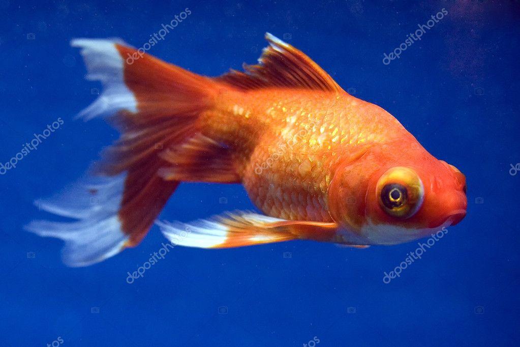 Telescope Eye Goldfish For Sale Telescope Eye Goldfish