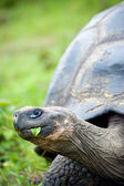 Galapagos turtle — Stock Photo
