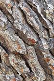 Diagonal pine tree bark texture — Stock Photo
