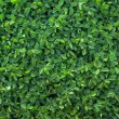 Green leaves of spiraea background — Stock Photo