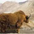 Yak on the pass - Stock Photo