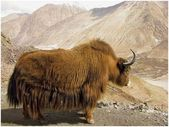 Yak on the pass — Stock Photo