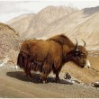 Stock Photo: Himalayas animals (Ladakh)