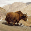 Himalayas animals (Ladakh) - Stock Photo