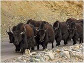 Himalayas animals (Ladakh) — Stock Photo