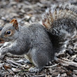 Squirrel in park — Foto Stock