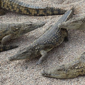 Crocodiles from the side — 图库照片
