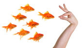 Hand gesturing towards a group of goldfish — Stock Photo