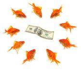 Japon balığı grup para çevresinde — Stok fotoğraf