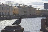 A pigeon near Mojka river in Saint Petersburg — Stock Photo