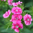 Pink flowers of spring — Stock Photo #10538375