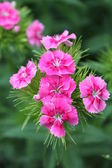 Pink flowers of spring — Stock Photo