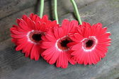 Three gerbera flowers — Stock Photo