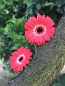 Two Gerberas flowers on the tree — Stock Photo
