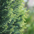 Green twig of the fir — Stock Photo #10642912