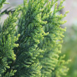 Green twig of the fir — Stock Photo