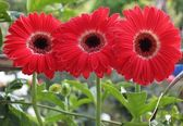 Three flowers gerberas — Stock Photo