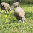 Sheep Grazing — Stock Photo