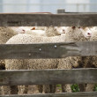Sheep Behind Wooden Fence — Stock Photo #10594361
