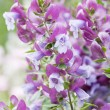 Magnificent Prostanthera — Stock Photo