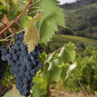 Ripe Sangiovese grapes, Chianti, Tuscany — Stock Photo