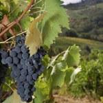 Ripe Sangiovese grapes, Chianti, Tuscany — Stock Photo #10265985