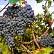Large cluster of ripe Sangiovese grapes — Stock Photo