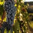 Stock Photo: Ripe grapes in vineyard
