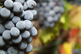 Detail of ripe grapes — Stock Photo