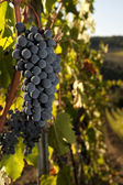 Ripe grapes in vineyard — Stock Photo