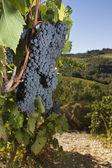 Ripe grapes, Chianti, Tuscany — Stock Photo