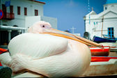 Petros the pelican, Mykonos — Stock Photo