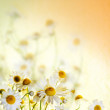 Stock Photo: Beautiful chamomile flowers picked up in field, portrait.