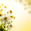 Summer wildflowers: chamomile — Stock Photo